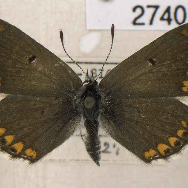Aricia agestis