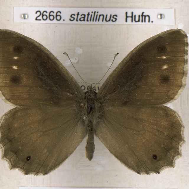 Hypparchia statilinus