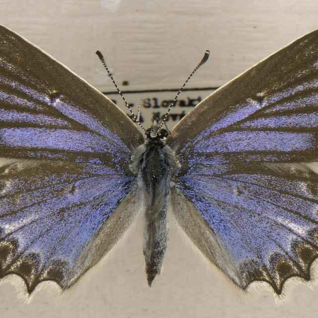 Polyommatus daphnis