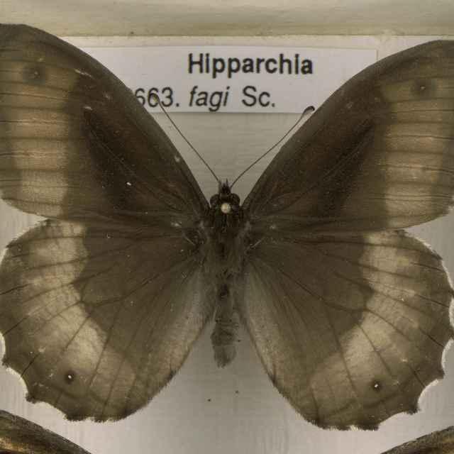 Hypparchia fagi