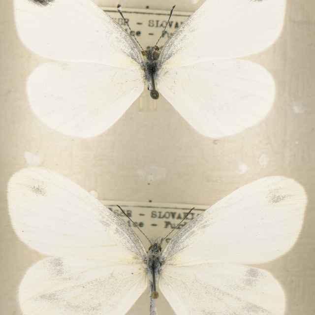 Leptidae sinapis