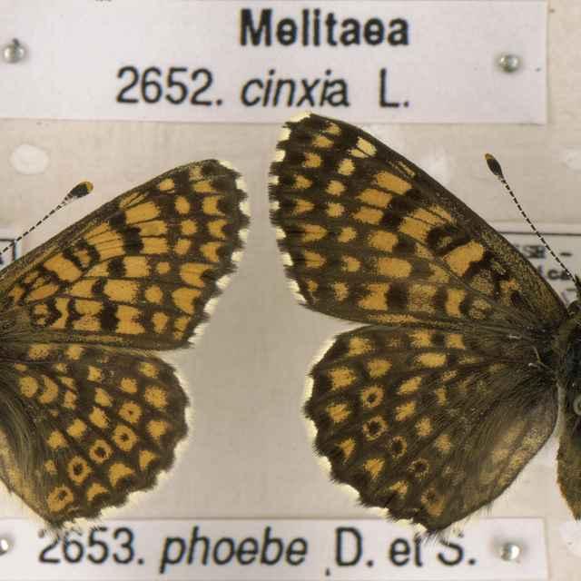 Melitaea cinxia