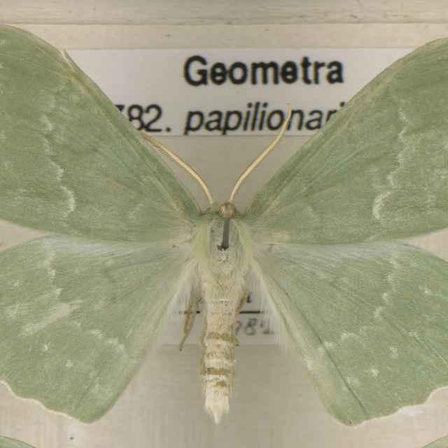 Geometra papilionaria