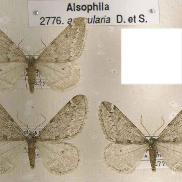 Alsophila aesularia