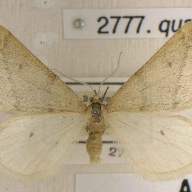 Alsophila quadripunctaria