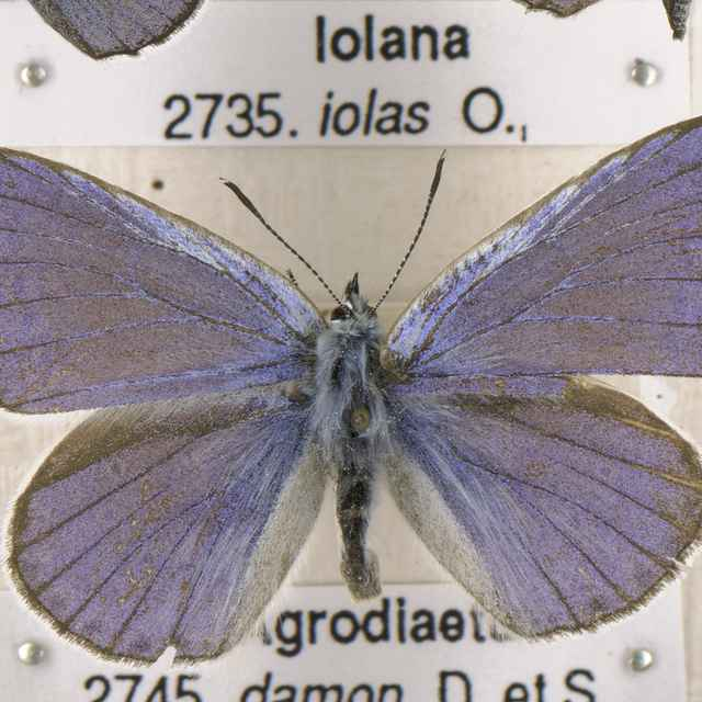 Iolana iolas