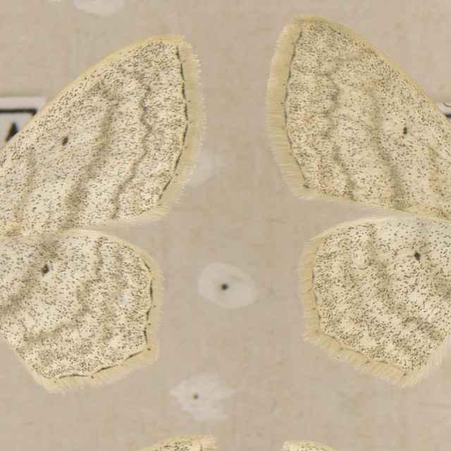 Scopula nigropunctata