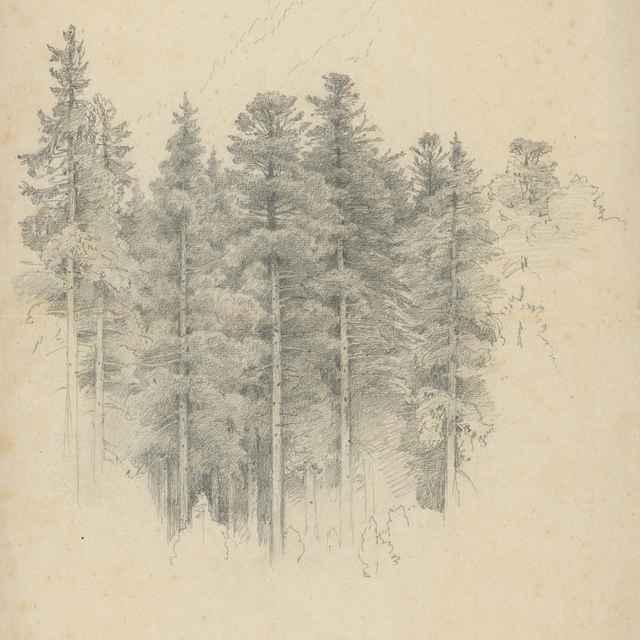Štúdia ihličnatých stromov - Novopacký, Jan
