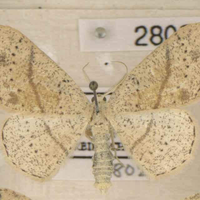 Cyclophora punctaria