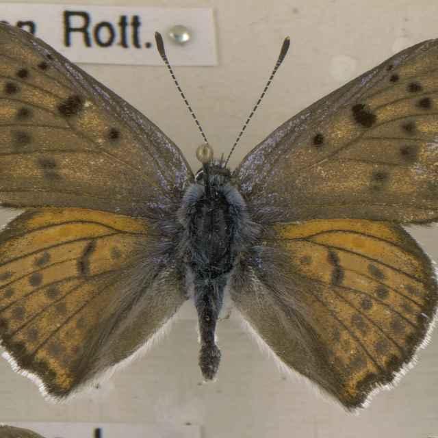 Lyceana alciphron