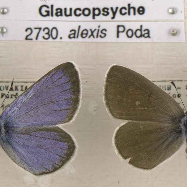 Glaucopsyche alexis