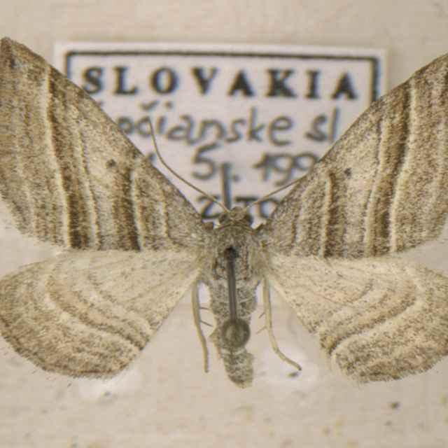 Phibalopteryx virgata