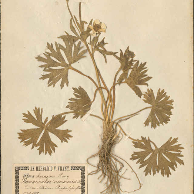 Ranunculus nemorosusDC.