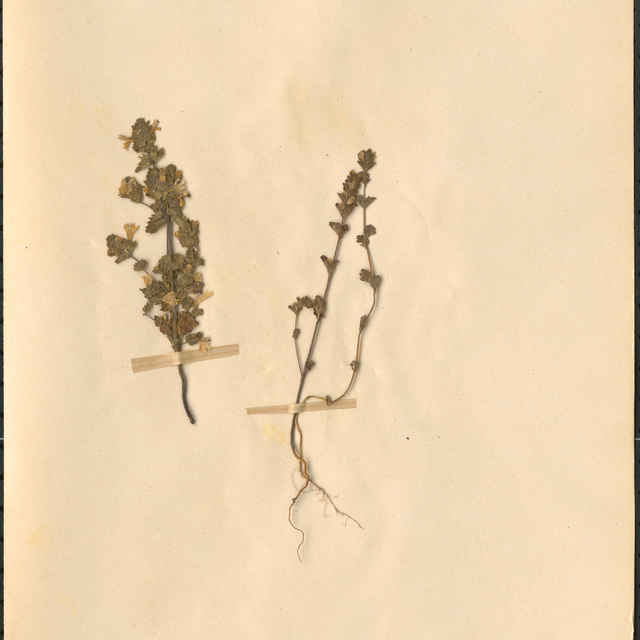 Euphrasia officinalis L.