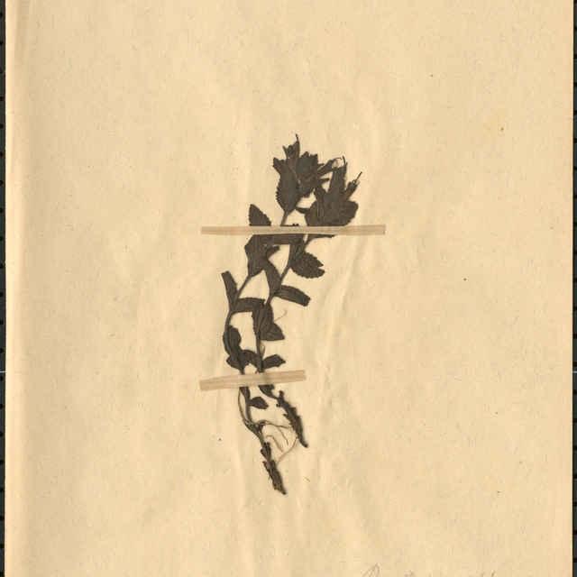 Bartsia alpinaL.