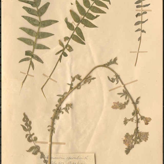 Polemonium caeruleumL.
