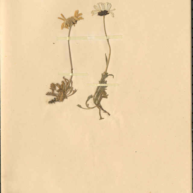 Chrysanthemum alpinumL.