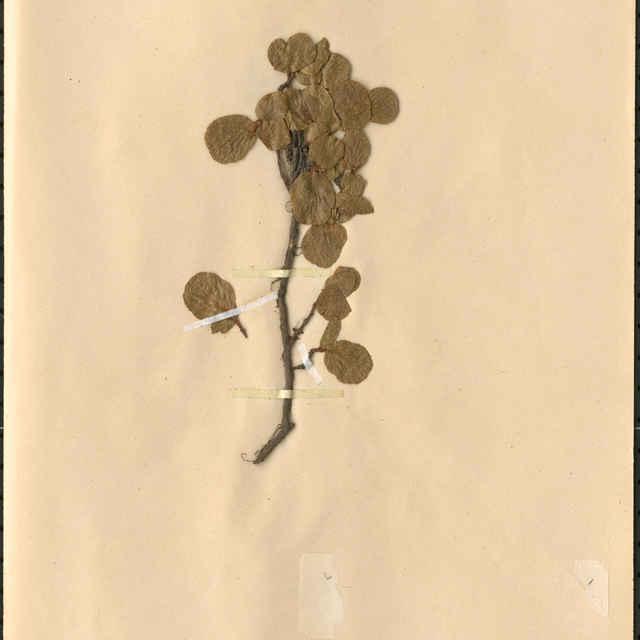 Salix herbaceaL.