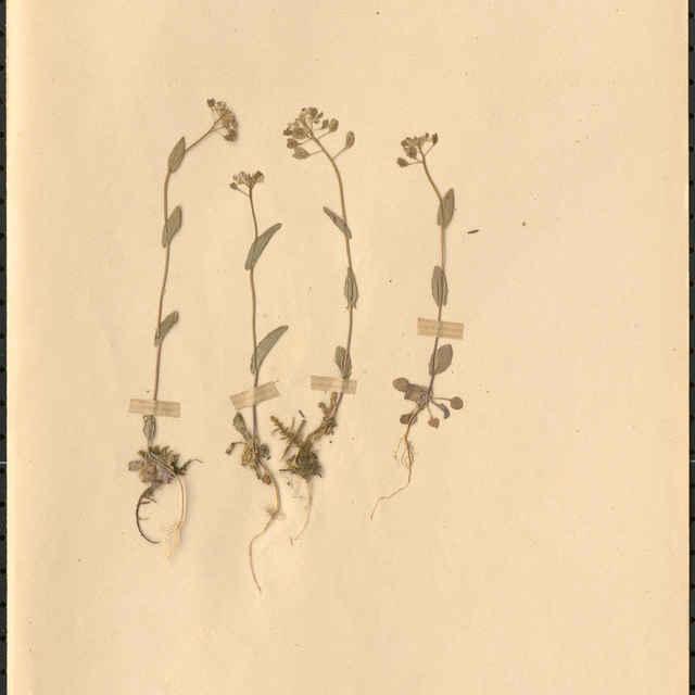Thlaspi perfoliatumL.