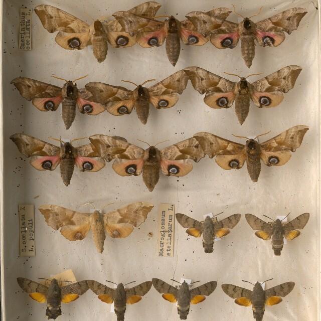 Druhy motýľov na Slovensku a v okolitých krajinách